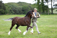Class 62 Welsh Cob RegisteredinW.S.B.SectionC2 or 3 year old Colt, Filly orgelding