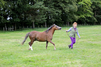 Class 80 Welsh Cob RegisteredinW.S.B.SectionB2 or 3 year old Colt, Filly orgelding